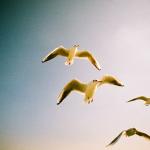 カモメを撮りに竹島に行きたい。