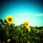 遅咲きの向日葵