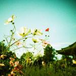 コスモスの咲くお寺をトイカメラでも撮影