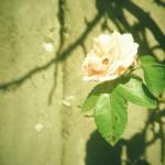 バラ撮影のコツ