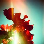 光漏れLC-Aで薔薇撮影