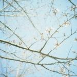 まだ咲かない桜(時差あり)