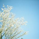 桜がキレイな理由