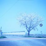 タングステンフィルムで一本の桜