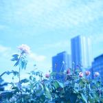 都会の中の薔薇園