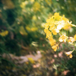 3月は菜の花
