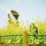 オウムと風車と菜の花と