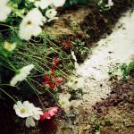 和泉リサイクル環境公園と万博公園のコスモス