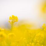 ふんわり菜の花