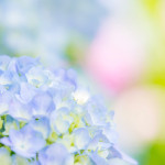 蜻蛉池公園の紫陽花