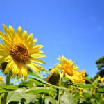 ミスチルと向日葵